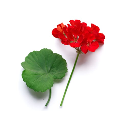 Geranium Essential Oil- Ingredient for The Grape Escape Shampoo Bars
